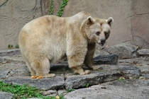 This is Honey a Syrian Brown Bear Ursus arctos syriacus she is almost  years old ie very old in bears year Melbourne Zoo Australia