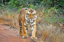 This is Jai from Maharashtra India Hes the largest wild tiger in Asia