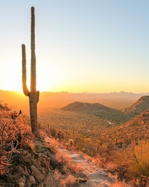 This is the mighty Saguaro
