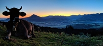 This is what you get when you cant sleep anymore at AM This majestic cow in front of the Allgu Mountains Bavaria Germany