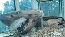 this is whats happened to Melbournes creepy great white shark