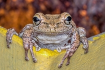 This little Cuban treefrog greeted me with an apparent smile and let me take a few photos before it went on its way