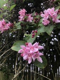 This lovely plant is my friends yard This is small tree with small clusters of pink very sweet but pleasant smelling flowers Does anyone know what it is