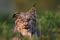 This lynx Lynx Canadensis flicks his ear to ward off bothersome gnats Jimmy Tohill