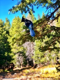 This Mountain Jay flew alongside us for a few minutes of our hike to Emerald Lake in the Rocky Mountain National Park