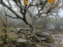 This old crotchety tree  Craggy Pinnacle Asheville NC x