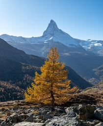 This one golden autumn tree in front of the Matterhorn Zermatt Switzerland
