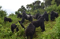 This  photo provided by the Dian Fossey Gorilla Fund shows a group of mountain gorillas in Rwandas Volcanoes National Park On Wednesday Nov   the International Union for Conservation of Nature updated the species status from critically endangered to endan