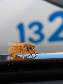 This purely golden bee landed on my car today
