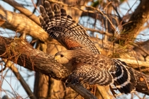 This Red shouldered hawk keeping an eye me
