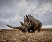 This Rhinos Impressive Horn