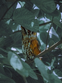 This Screech Owl hatched on my patio and comes back to visit every so often  South Florida