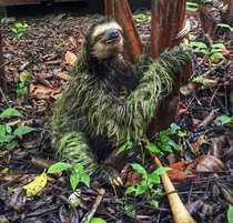 This sloth in Costa Rica OC