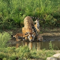 This tigress is Collarwalli Baghin the famed supermom from Pench Tiger Reserve Madhya Pradesh India who delivered a record  cubs in eight litters most tigresses stop at four