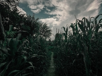 This trail surrounded by maize fields ManaliIndia  x