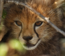 This weeks old cheetah cub  The Mara