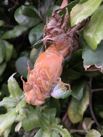 This what a cicada Cicadoidea looks like as it emerges from its shell