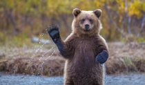 This wild young Coastal Alaskan Brown Bear stood up and made a waving motion to the photographer while feeding in a river