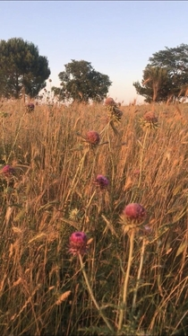 Thistle and weeds in Croatia
