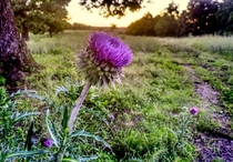 Thistle in the Ozarks Missouri USA