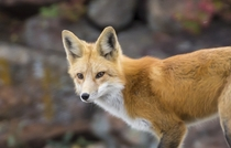 Those eyes Focused red fox that hunts near my house Vulpes vulpes