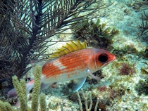 Those eyes Squirrelfish Holocentridae family in Florida Keys
