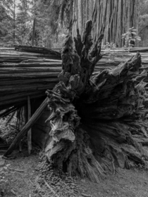 Three Dimensions Jedediah Smith Redwoods State Park Del Norte County California