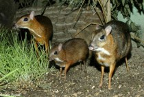Three Java mouse-deer Tragulus javanicus