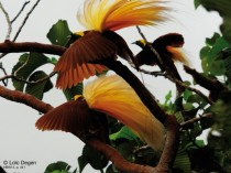 Three male Greater Birds of Paradise displaying on a tree Irian Jaya New Guinea