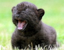 Three-week-old black panther cub