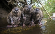 Three Wild Beavers Castor near Munich Germany
