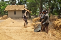 Threshing of paddy in village of Bangladesh