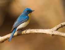 Tickells Blue Flycatcher from India