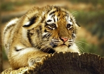 Tiger cub crouched on a log x-post from rawwducational