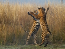 Tiger cubs play-fighting India photo by Souvik Kundu