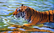 Tiger in Water Panthera tigris
