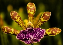 Tiger Oncidium Hybrid