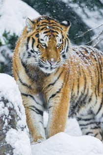 Tiger Panthera tigris -