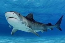 Tiger Shark Galeocerdo cuvier in shallow water