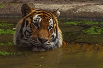 Tiger takes a bath Photo credit to Peter Neumann