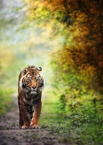 Tiger Walking Along A Jungle Path