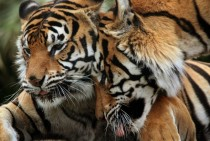 Tigers - Panthera tigris