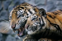 Tigers recently confiscated from the residence of an Indonesian businessman