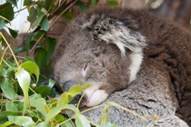 Tired Koala Phascolarctos cinereus x