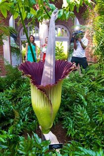 Titan Arum Amorphophallus titanum stinks up the house in Pittsburgh