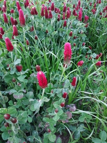 Today I passed by a field of clover with red flowers I wasnt even aware it existed crimson clover