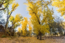 Todays Fall Color along the Sacramento River in Redding California