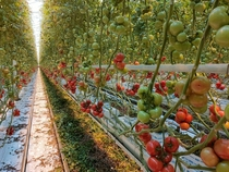 Tomato greenhouse in the Netherlands