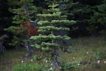 Took a picture of this cute little tree while I was walking through Hurricane Ridge   x  Port Angeles Washington State
