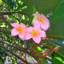 Took a quick snap of some plumeria blossoms Plumeria sp on my phone to show a friend